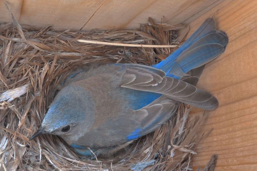 Ein Nest für Blaukehl-Hüttensänger in einem experimentellen Nistkasten, den die Wissenschaftler zur Verfügung stellten.