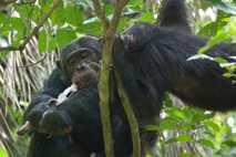 Ein männlicher Schimpanse frisst einen Roten Stummelaffen im Gombe- Nationalpark in Tansania.