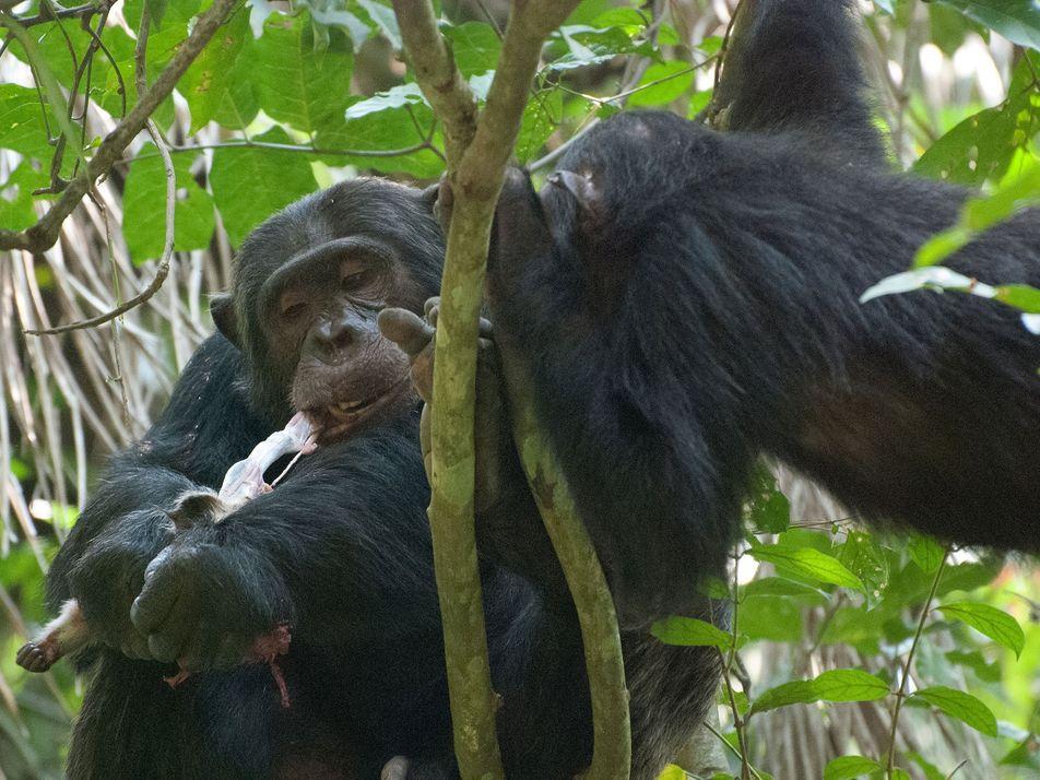 Schimpansen-Delikatesse: Das Gehirn wird zuerst gefressen