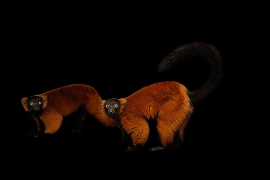 Diese Roten Varis im Miller Park Zoo in Bloomington, Illinois, halten mitten in der Bewegung inne, ...