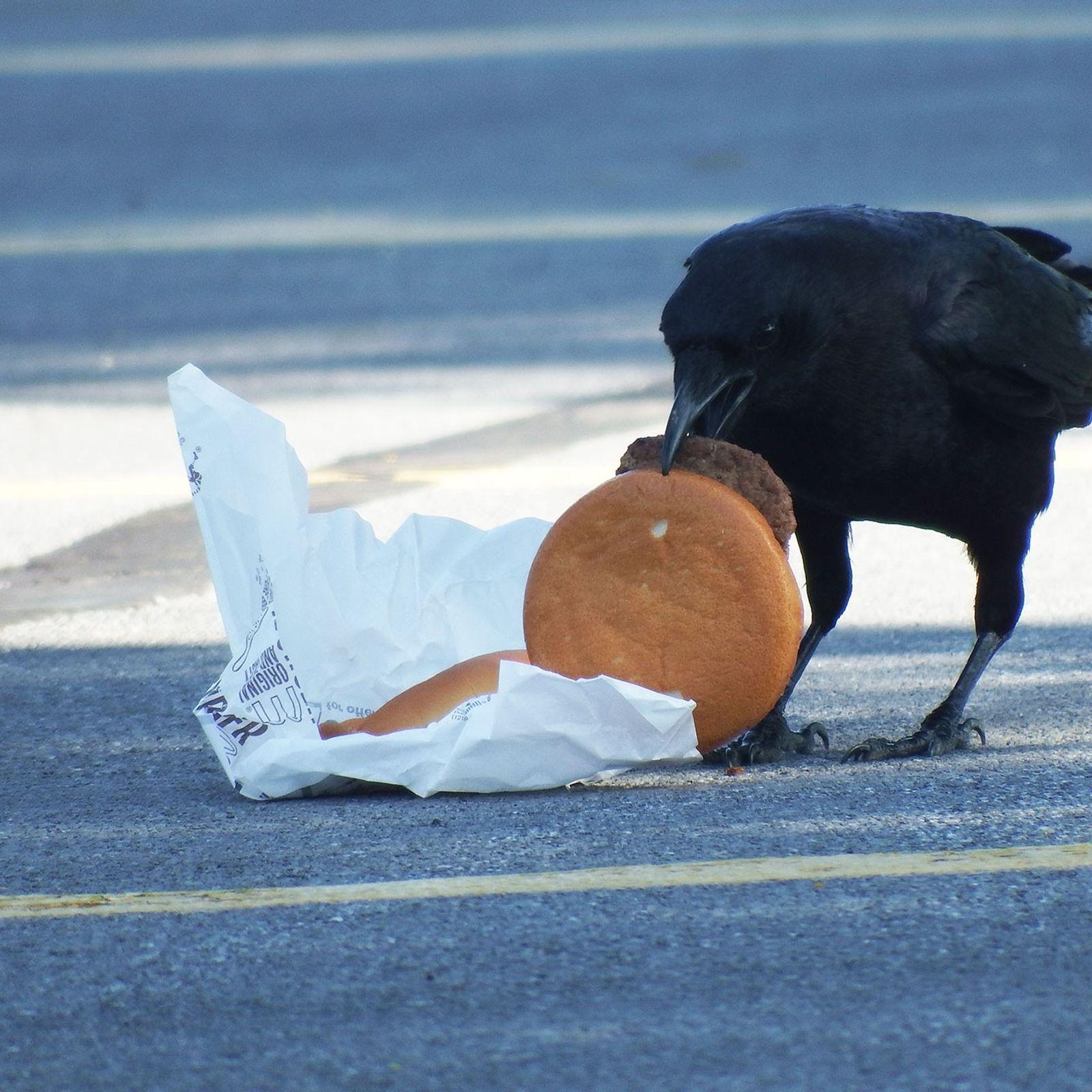 Wissenschaftler verfütterten Cheeseburger an Krähen, um herauszufinden, ob sich der Verzehr von menschlicher Nahrung auf die ...