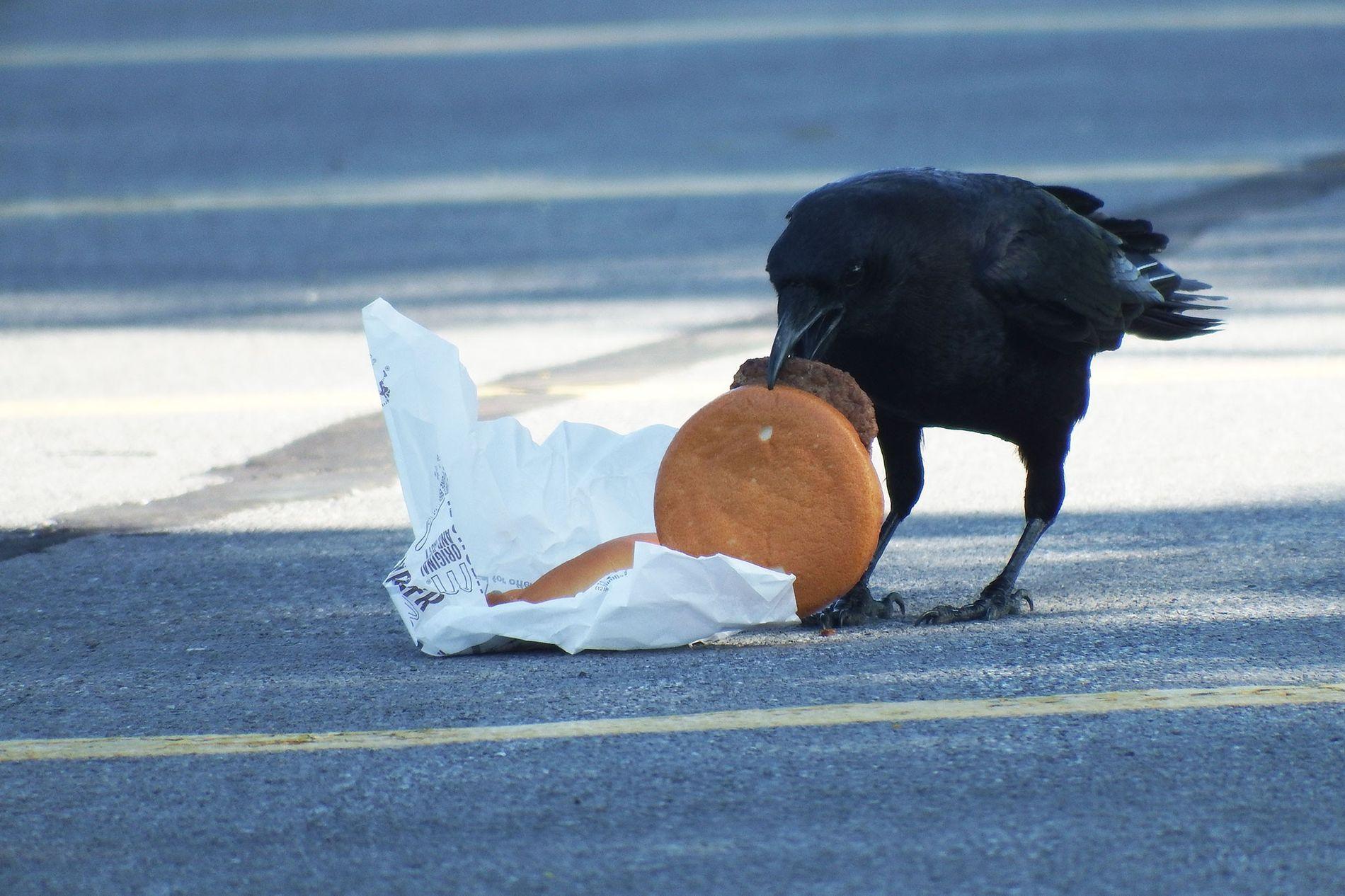 Wissenschaftler verfütterten Cheeseburger an Krähen, um herauszufinden, ob sich der Verzehr von menschlicher Nahrung auf die Überlebensrate der Vögel auswirkt.