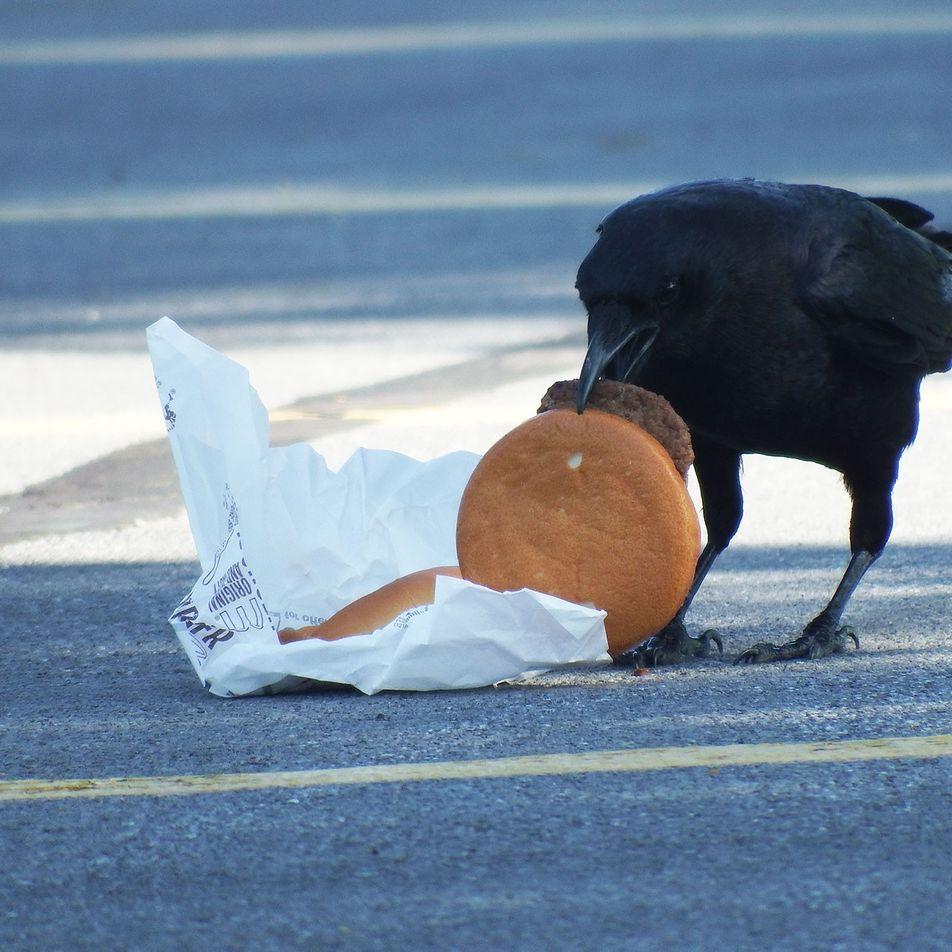 Krähen & 100 Cheeseburger: Was macht Fast Food mit Stadttieren?