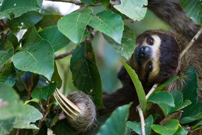 Ein Braunkehl-Faultier lugt im Aviarios Sloth Sancutary in Costa Rica durch die Blätter.