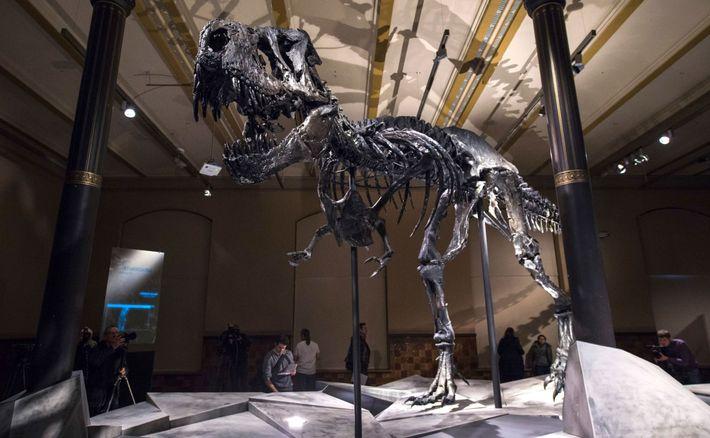 Das Skelett eines Tyrannosaurus rex thront über den Besuchern des Naturkundemuseums Naturalis in den Niederlanden.