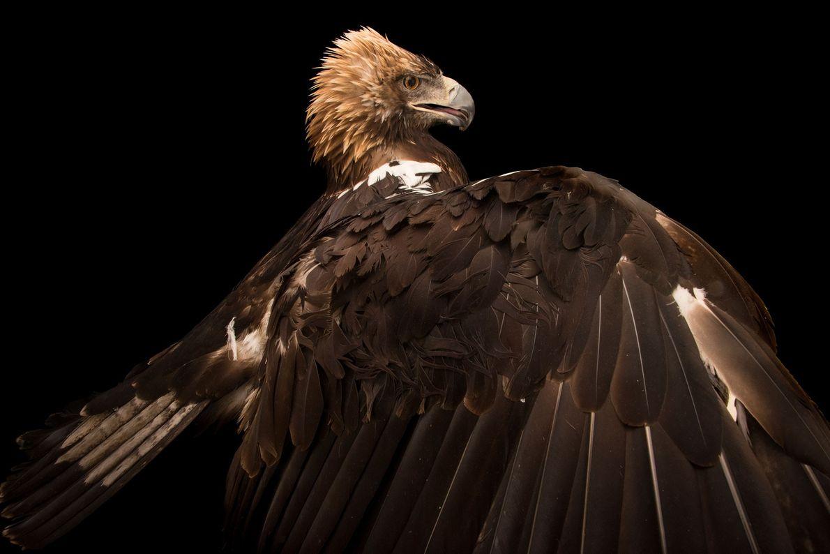 Ein Spanischer Kaiseradler (Aquila adalberti) im Zoo von Madrid. Die größtenteils braun gefiederten Vögel sind auf ...