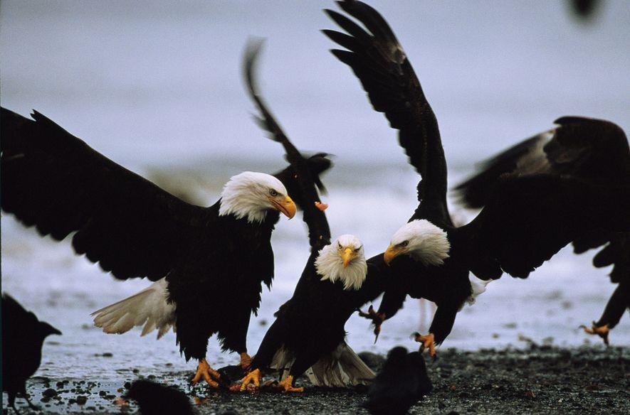 Dank der Bemühungen um den Erhalt seiner Art wurde der Weißkopfseeadler 1995 von der Liste der ...