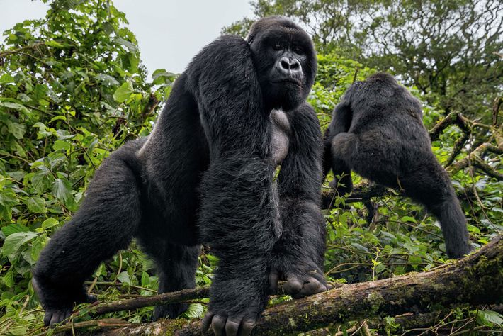 Ein Silberrücken im Dschungel von Virunga – der Heimat der vom Aussterben bedrohten Berggorillas.