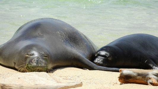 Von der Katze ins Meer: Toxoplasmose tötet seltene Robben
