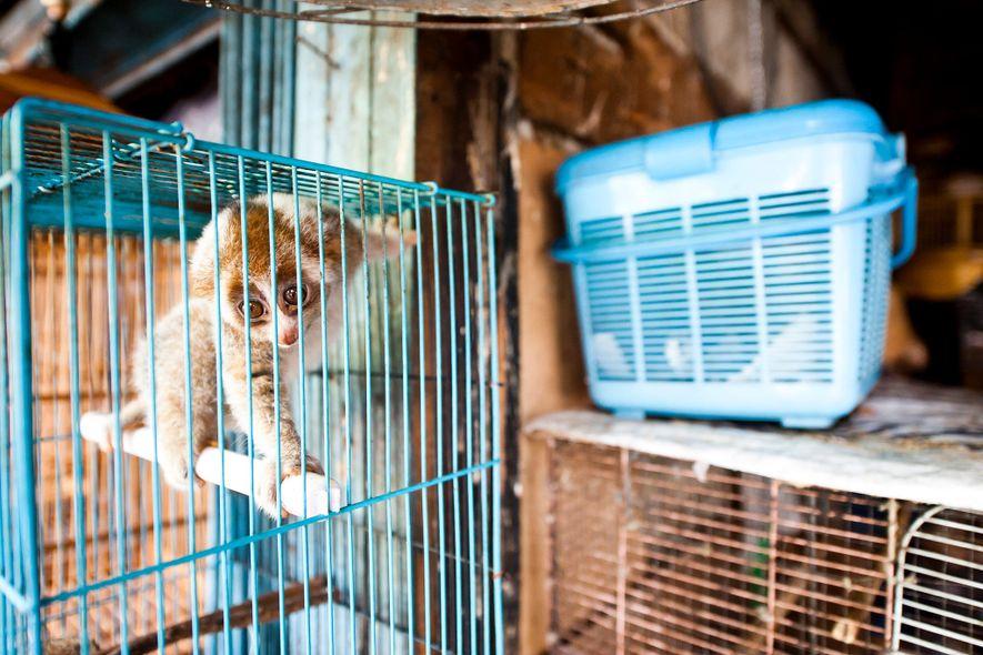 Plumploris werden auf dem Borito Market in Jakarta (Indonesien) ganz öffentlich verkauft, obwohl sie gesetzlich eigentlich ...