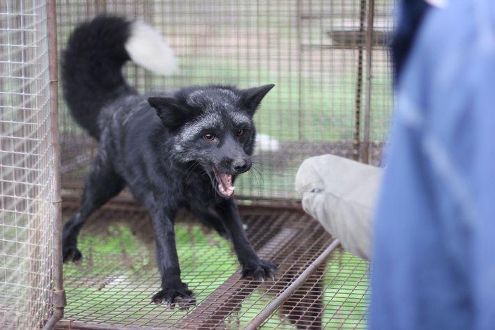 Die Zucht zahmer Füchse brachte auch Tiere mit körperlichen Besonderheiten wie Schlappohren hervor, die mit Domestizierung ...