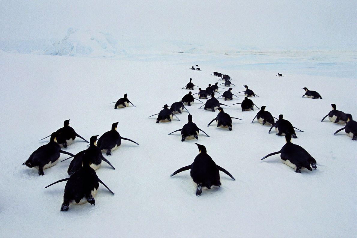 Kaiserpinguine rutschen im antarktischen Weddell-Meer auf ihren Bäuchen über das Eis.