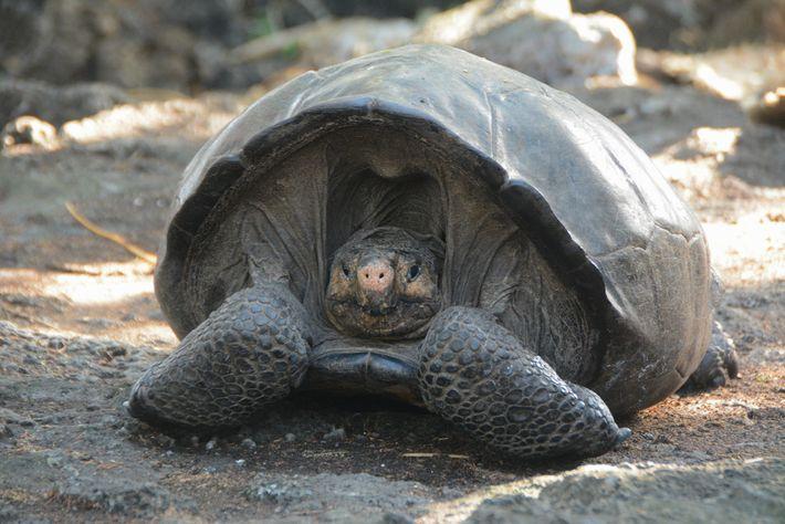 Dieses Weibchen wird auf etwa 100 Jahre geschätzt. Da Riesenschildkröten bis zu 200 Jahre alt werden ...