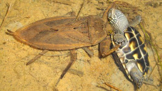 Riesenwanzen fressen Schildkröten, Entenküken und Giftschlangen