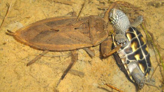 Ein Vertreter der Art Kirkaldyia deyrolli macht Jagd auf eine Schildkröte – ein seltener Anblick.