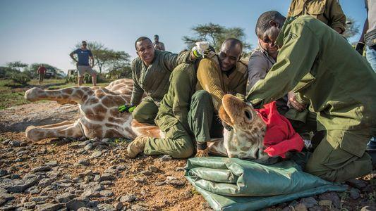 Galerie: Die Rettung des höchsten Tieres der Welt