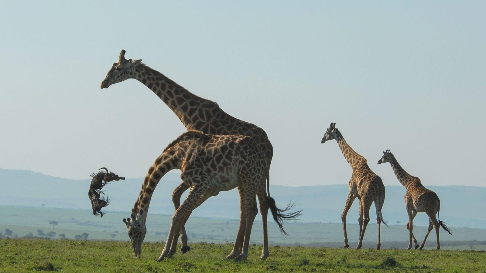 Giraffe wirft Gnukadaver