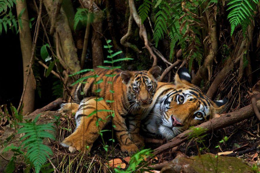 Eine Mutter und ihr zwei Monate altes Junges ruhen sich im Bandhavgarh-Nationalpark aus. Im Gegensatz zum ...