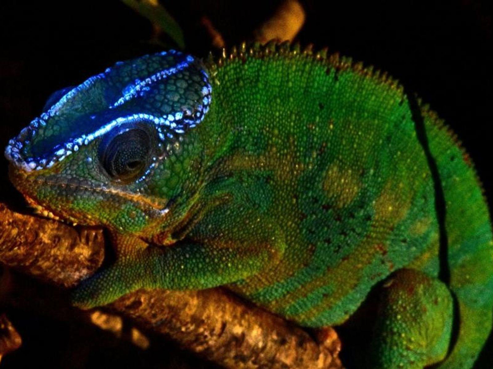 Die Tuberkel dieses Chamäleons leuchten unter UV-Licht in einem hellen Blau.