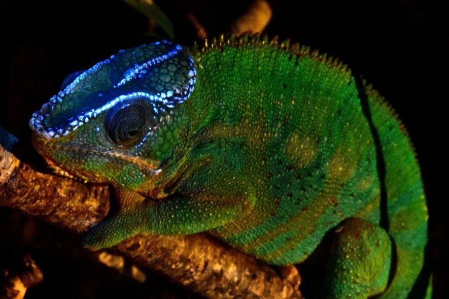 UV-Licht bringt Chamäleons zum Leuchten