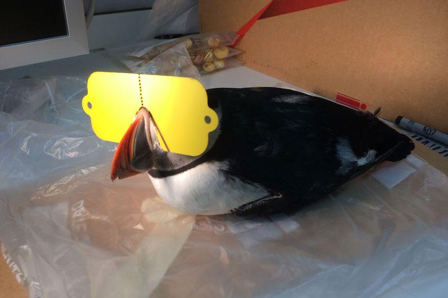 Ein lebender Papageitaucher mit einer eigens angefertigten Sonnenbrille.