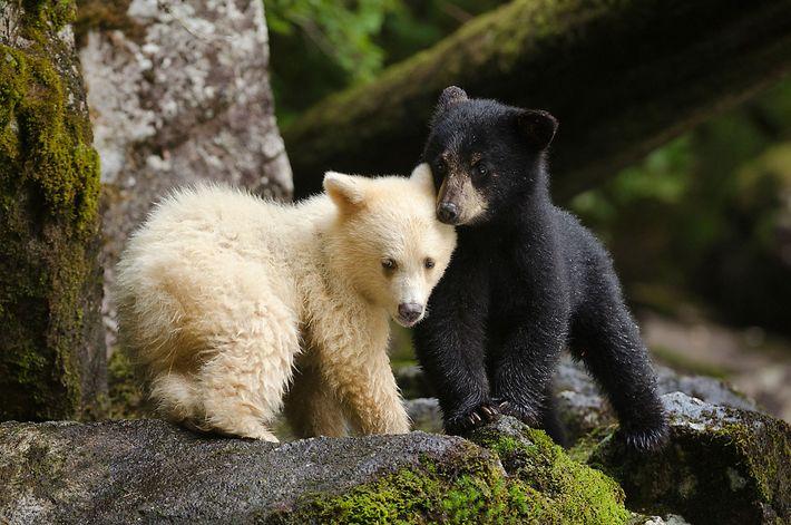 Ein junger Geisterbär mit seinem Geschwisterchen. Viele Jahre lang hielten die First Nations die Existenz dieser ...
