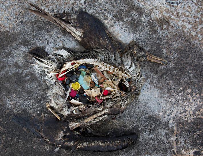 Dieses tote Albatrosküken wurde mit Plastik im Magen auf dem Midway-Atoll im Nordwesten Hawaiis gefunden.  ...