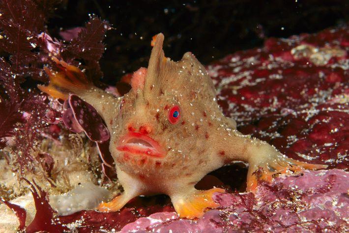 Handfisch, Thymichthys politus
