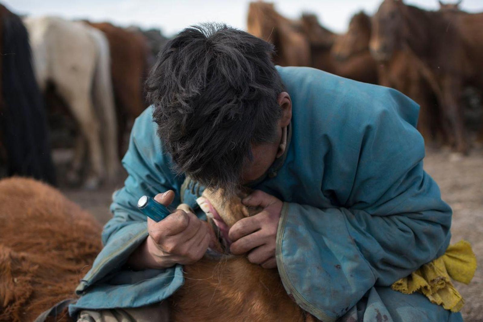 Ein Hirte entfernt einem jungen Pferd einen Wolfszahn, wie es in der Mongolei schon seit mindestens ...