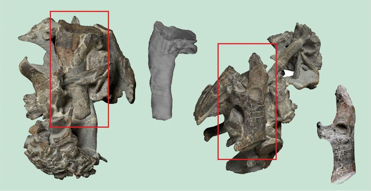 Das teilweise präparierte Skelett des großen Pinguins Kumimanu biceae aus dem Paläozän. Die Rechtecke zeigen den ...
