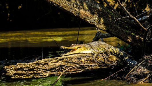 Neue Krokodil-Art ist ein alter Bekannter