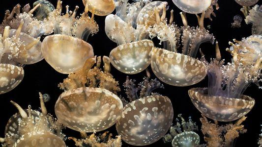 Quallenexplosion: Viele Meerestiere steigen auf Glibber um