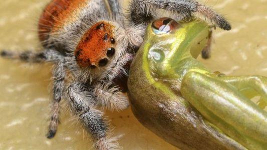 Kleine Spinnen fressen deutlich größere Eidechsen