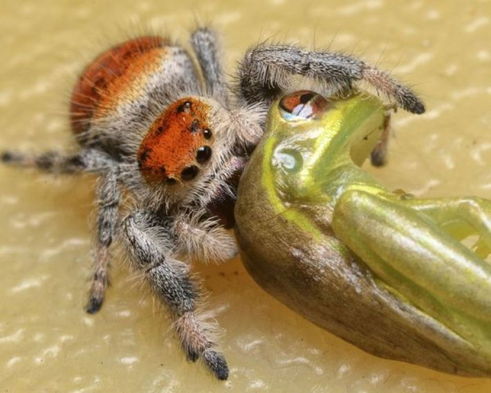 Spinne frisst Frosch