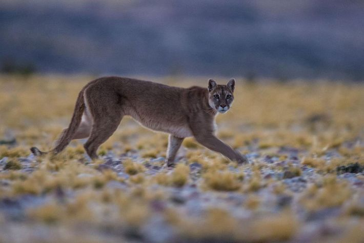Auch Pumas weiten ihre Habitate aus.