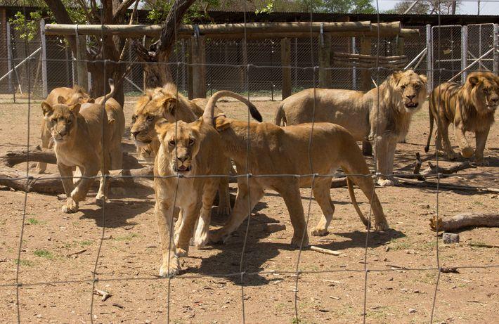 Löwen in Käfigen einer Zuchtanlage in Südafrika. In dem Land werden bis zu 8.000 Löwen in ...