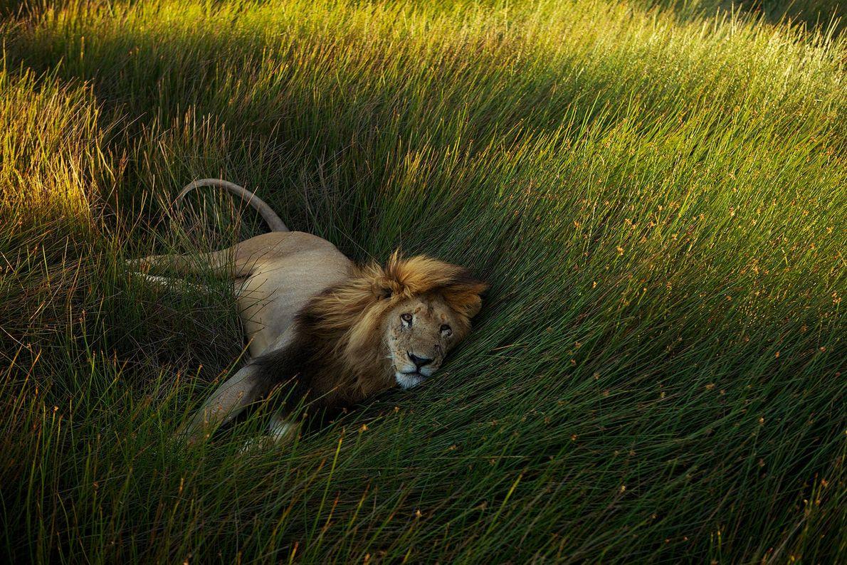 Löwe im Gras