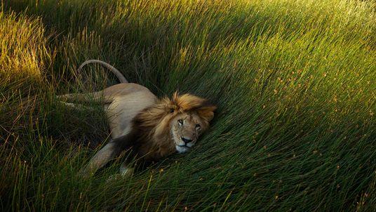 Galerie: 12 Einblicke in das Leben der Löwen Afrikas