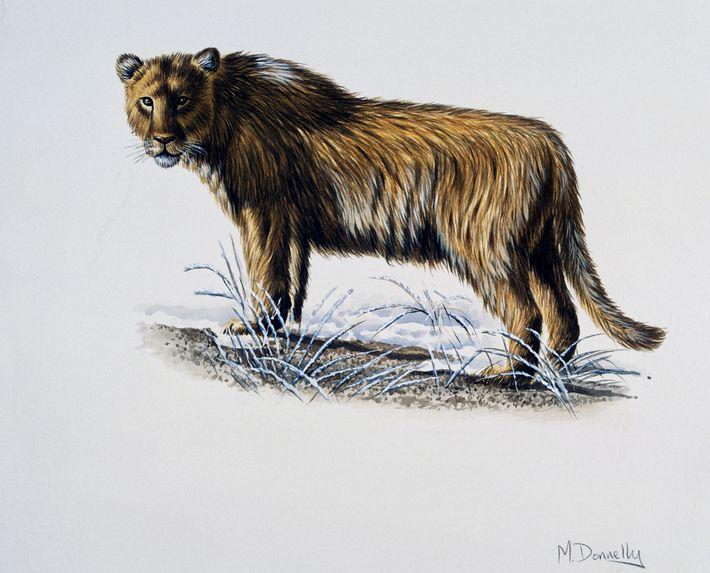 Höhlenlöwe (Panthera leo spelaea)