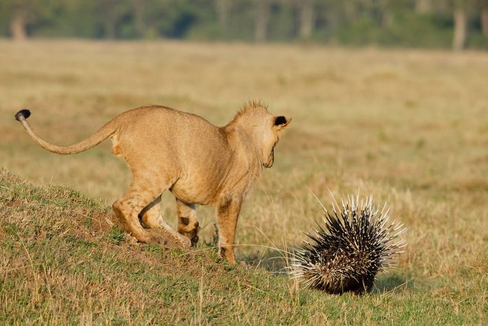 Oft versuchen sich besonders junge und männliche Löwen an der Jagd auf Stachelschweine, so wie dieses ...