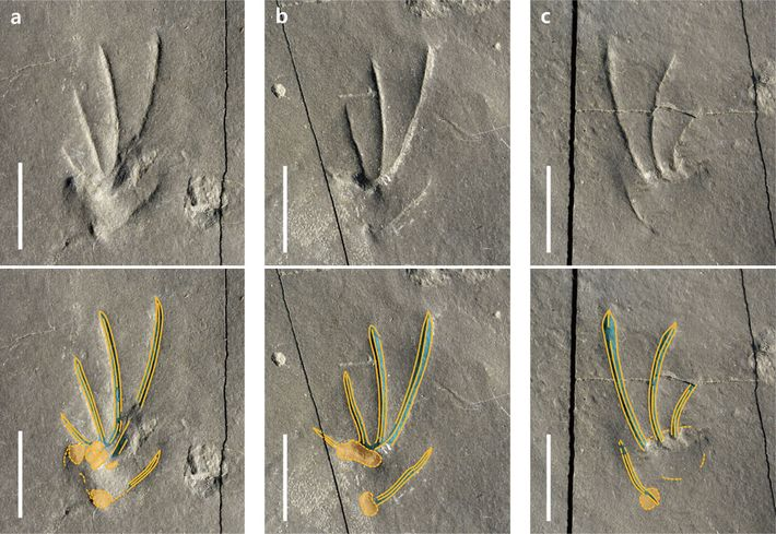 Wie viele heutige Eidechsen hatte die Eidechse, die diese Fußspuren hinterließ, asymmetrische Füße und einen sehr ...