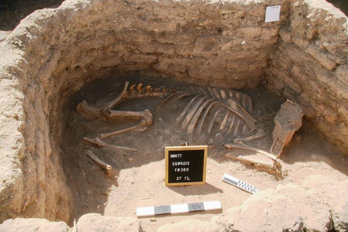 Zwei ungewöhnliche Bestattungen von Rindern wurden in einem Raum in der Stadt gefunden. Es laufen Untersuchungen, ...