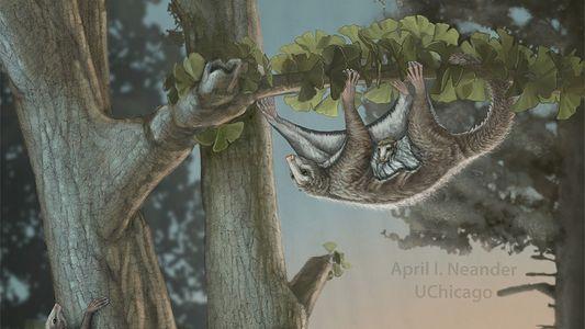 Galerie: Seltener Fossilfund: Die kleinen Gleitsäuger des Jura