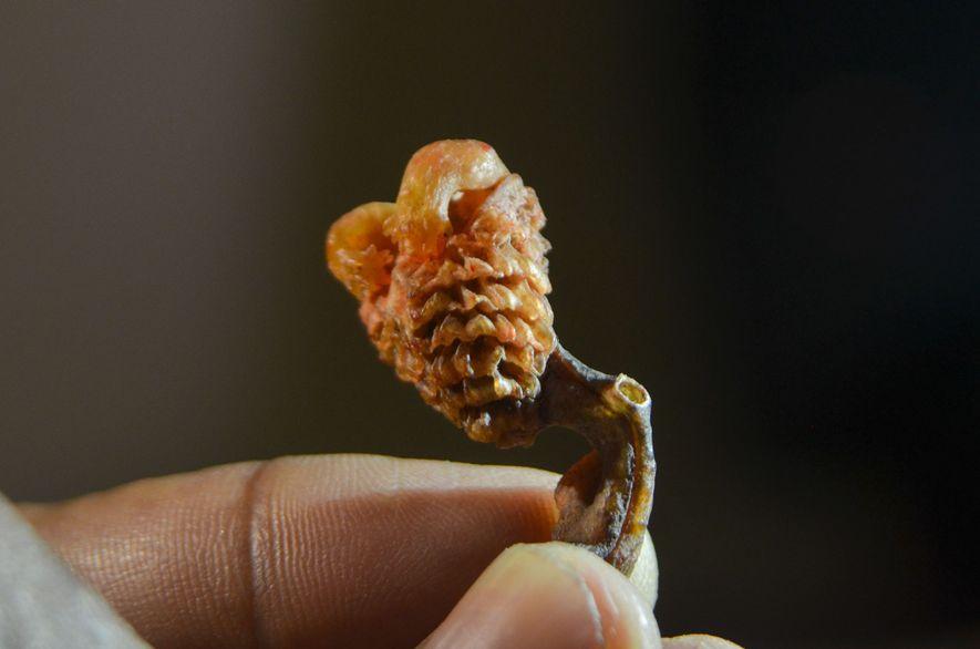 Getrockneter Waranpenis