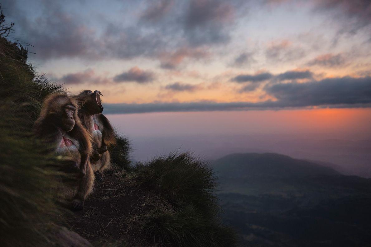 Zwei Dscheladas haben sich auf einer Bergwiese in Äthiopien ein Plätzchen für die Nacht gesucht. Die ...