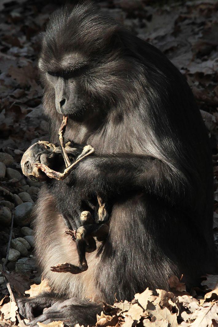 Affe knabbert an Leichnam
