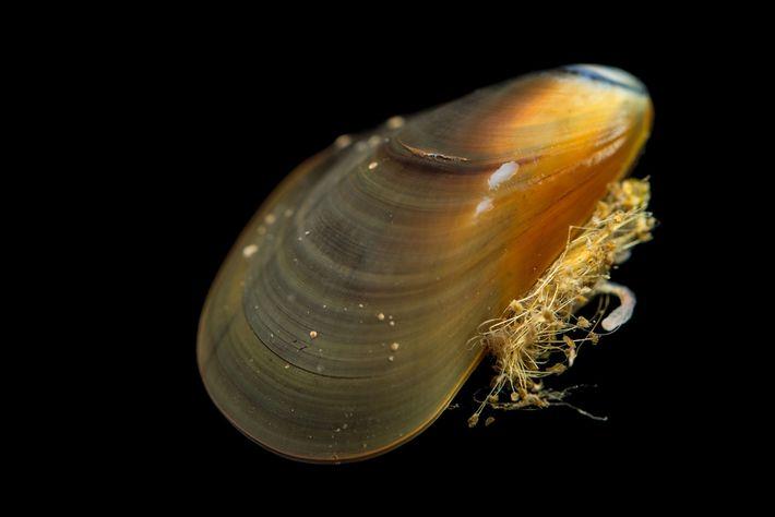 Eine Krebsart, die in Pazifischen Miesmuscheln auftritt, hat sich irgendwie auf zwei weitere Arten von Miesmuscheln ...