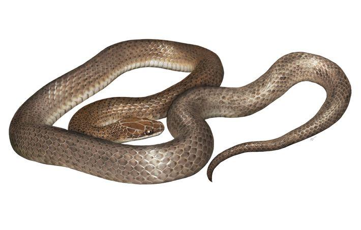 Eine Darstellung der neuen Spezies, Cenaspis aenigma.
