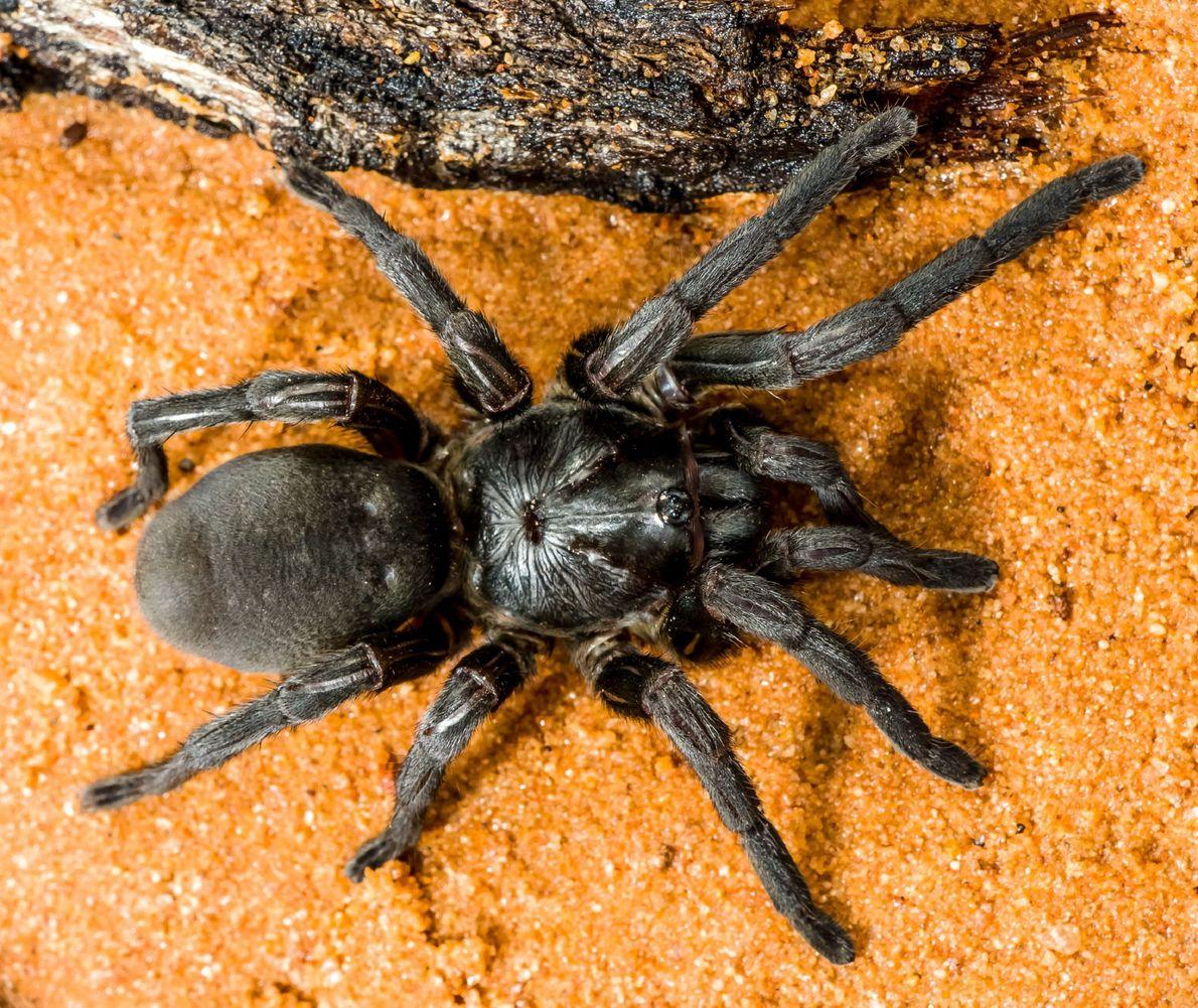 Zodariidae Habronestes