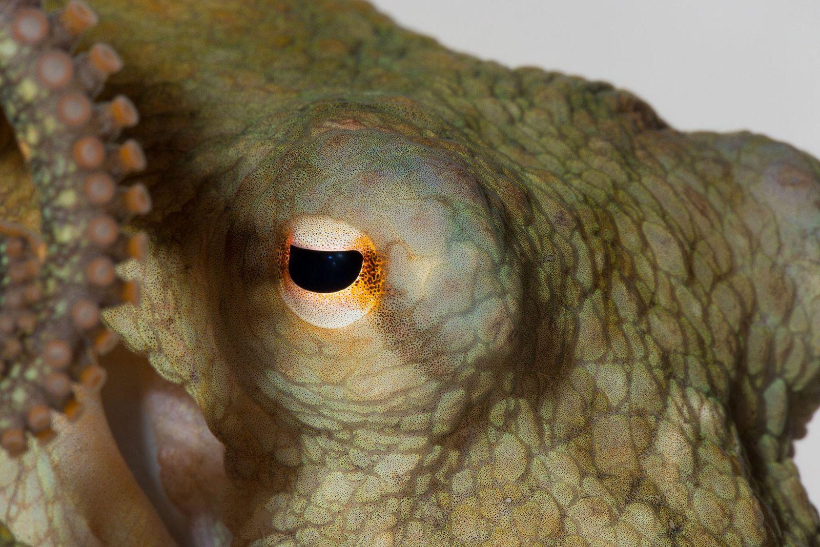 Eine Kalifornische Zweipunktkrake. Exemplare dieser Art wurden auch bei einem Experiment mit MDMA benutzt, besser bekannt ...